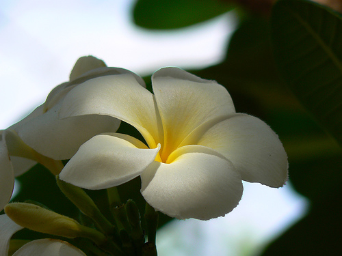 """Singapore White"" from flickr.com/dinesh_valke"